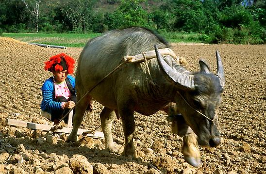 Dzao woman using a water buffao to plow a field