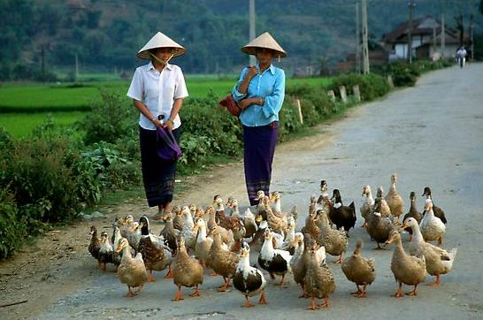 Thai women herding ducks, Tuan Giao